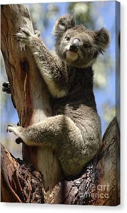 Koala Canvas Print by Bob Christopher