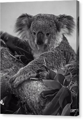 Koala Canvas Print by Chris Flees