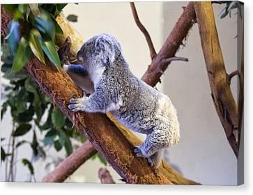 Koala Climbing Tree Canvas Print by Chris Flees