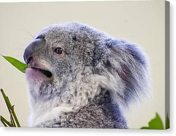 Koala Close Up Canvas Print by Chris Flees
