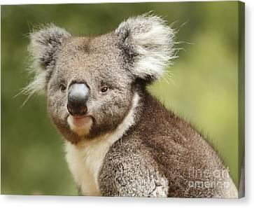 Koala Canvas Print by Craig Dingle