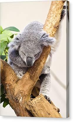 Koala Sleeping  Canvas Print by Chris Flees