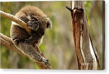 Koala Sleeping It Off In Australia Canvas Print by Bob Christopher