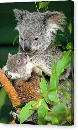 Koalas Canvas Print by Bildagentur-online/mcphoto-schulz