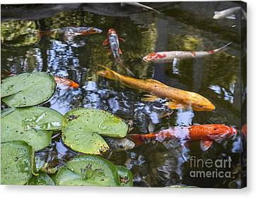 Koi And Lily Pads - Beautiful Koi Fish And Lily Pads In A Garden. Canvas Print
