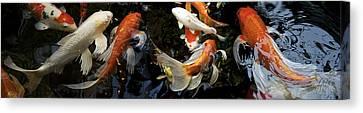 Koi Carp Swimming Underwater Canvas Print by Panoramic Images