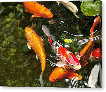 Koi Fish Japan Canvas Print by John Swartz