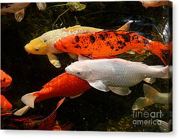 Canvas Print featuring the photograph Koi Gathering by Susan Wiedmann