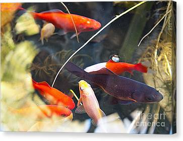 Koi Pond The Symbol Of Love And Friendship Canvas Print by Artist and Photographer Laura Wrede