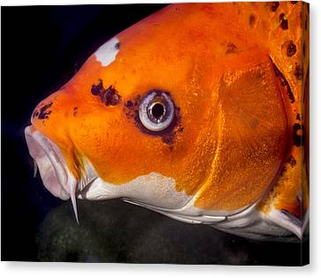 Koi Soliciting A Kiss Canvas Print by Jean Noren