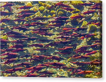 Kokanee Salmon Head Upstream Canvas Print by Chuck Haney