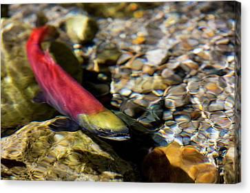 Kokanee Salmon Heading Upstream Canvas Print by Chuck Haney