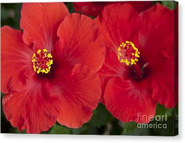 Kokio Ulaula - Tropical Red Hibiscus Canvas Print by Sharon Mau