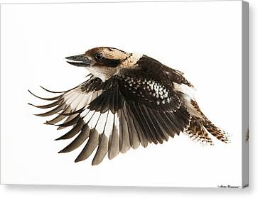 Canvas Print featuring the photograph Kookabura In Flight by Avian Resources
