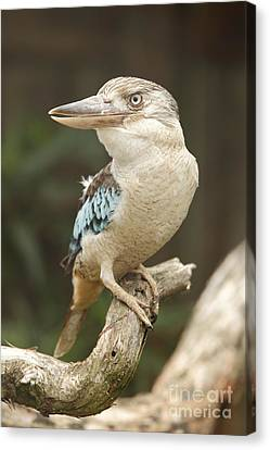 Kookaburra Canvas Print by Craig Dingle