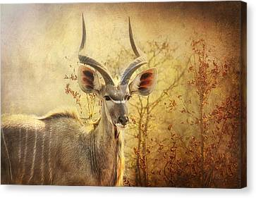 Kudo In The Wild Canvas Print by Kim Andelkovic