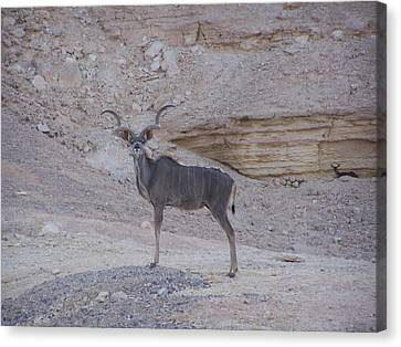 Kudu King Canvas Print by Noreen HaCohen