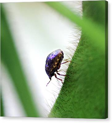 Kudzu Bug Canvas Print by Richard Evans/us Department Of Agriculture