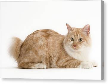 Kurilian Bobtail Cat Canvas Print
