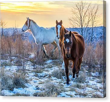 Ky Wild Horses Canvas Print