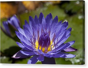 La Fleur De Lotus - Star Of Zanzibar Tropical Water Lily Canvas Print by Sharon Mau