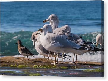 La Jolla Birds Canvas Print