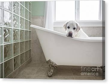 Lab In A Bathtub Canvas Print