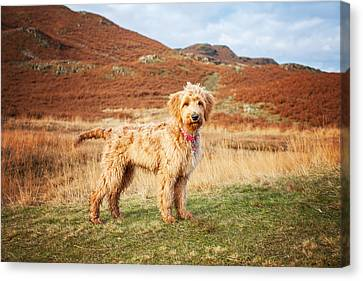 Labradoodle Puppy Canvas Print by Mike Taylor