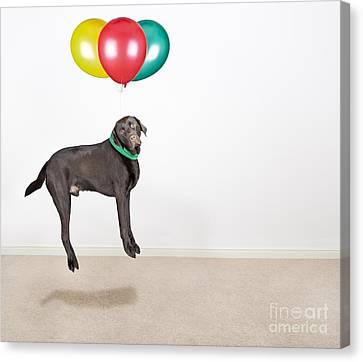 Labrador Being Lifted By Balloons Canvas Print