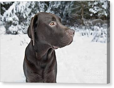 Labrador In Snow Canvas Print by Justin Paget