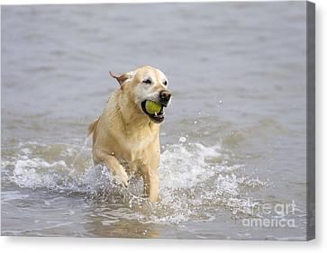 Labrador-mix Retrieving Ball Canvas Print