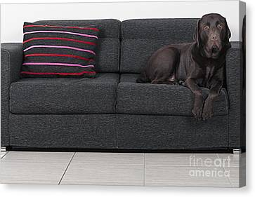 Labrador On Sofa Canvas Print by Justin Paget