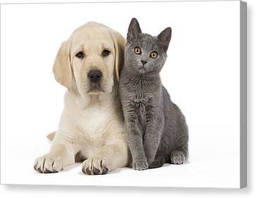 Labrador Puppy With Chartreux Kitten Canvas Print by Jean-Michel Labat