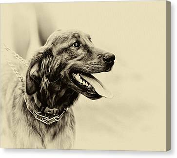 Canvas Print featuring the photograph Labrador Retriever by Jerome Lynch