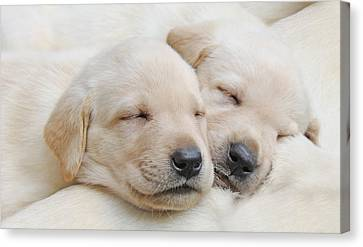 Labrador Retriever Puppies Sleeping  Canvas Print by Jennie Marie Schell