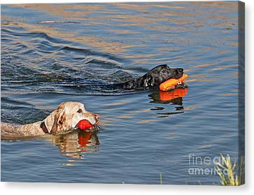 Labrador Retrievers In Pond Canvas Print by William H. Mullins