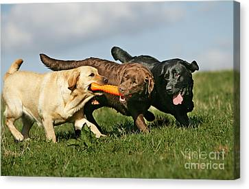 Labradors Playing With Toy Canvas Print