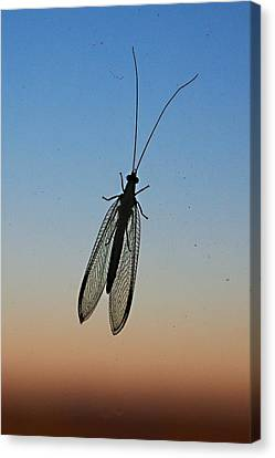 Lacewing Canvas Print by Carl Engman