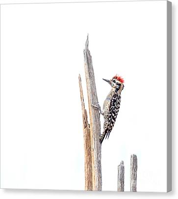 Ladder-backed Woodpecker Canvas Print by Ruth Jolly