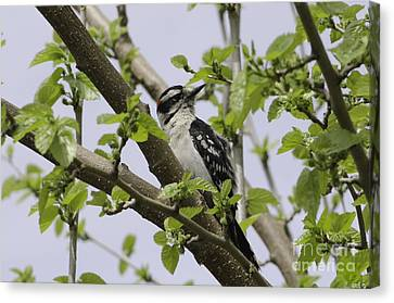 Ladderback Canvas Print - Ladderback Woodpecker by Michelle Horsman