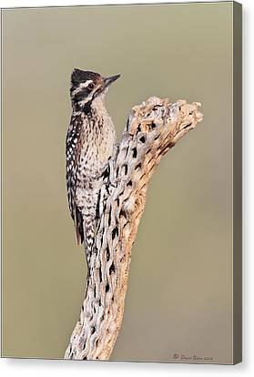 Ladderback Canvas Print - Ladderbacked Woodpecker by Daniel Behm
