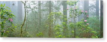 Lady Bird Johnson Grove Of Old-growth Canvas Print by Panoramic Images