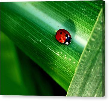 Lady Bug In The Corn Canvas Print by Robert Gallup