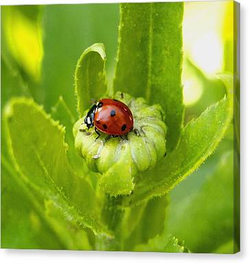 Lady Bug In The Garden Canvas Print