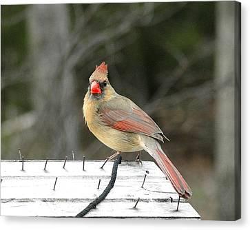 Lady Cardinal Canvas Print by Cindy Croal