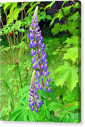 Lady Lupine Canvas Print