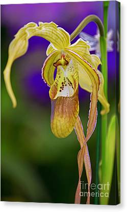 Lady Slipper Orchid Canvas Print by Aloha Art