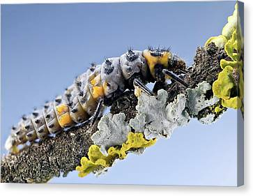 Beetle Canvas Print - Ladybird Larva by Nicolas Reusens
