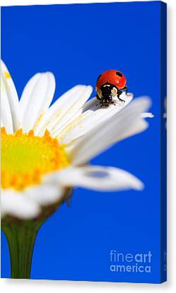 Ladybird On Flower Canvas Print by Patrick Frischknecht