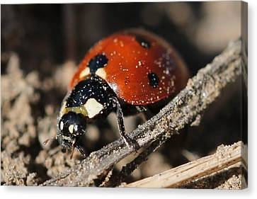 Ladybug 2 Canvas Print by Lorri Crossno